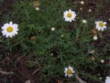 Argyranthemum hierrense.JPG