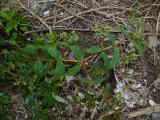 Euphorbia (2).JPG