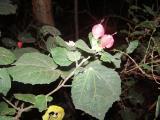 Malvaviscus arboreus.JPG