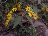Melampodium divaricatum.JPG