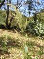 Amaranthus o Chenopodium.JPG