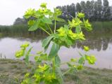 1047 Euphorbia villosa.jpg