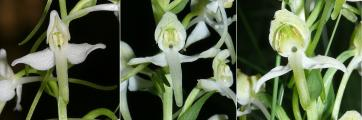 Platanthera_bifoliia_xhybrida_chlorantha_110608.jpg