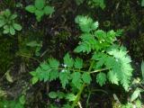 Apiaceae (3).JPG