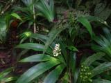 Zingiberaceae (4).JPG