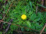 Asteraceae (8).JPG