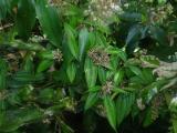 Melastomataceae.JPG