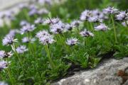 20060701_Globularia_cordifolia_1_SoproniJ_Alps.jpg