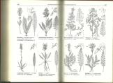 Pedicularis.jpg