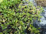 Globularia cordifolia2.JPG