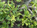 Globularia cordifolia11.JPG