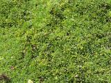 Globularia cordifolia12.JPG