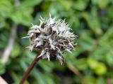 Globularia cordifolia14.JPG
