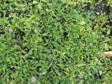 Globularia cordifolia15.JPG