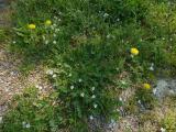 Erodium cicutarium.JPG