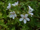 Erodium cicutarium (2).JPG