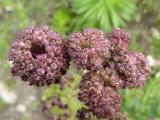 Cirsium arvense (11).JPG