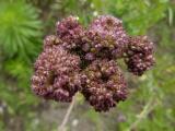 Cirsium arvense (6).JPG