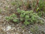 Echium vulgare (2).JPG