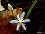 Scilla bifolia agg..JPG