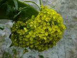 Bunias orientalis (6).JPG