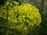 Bunias orientalis (7).JPG