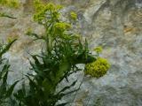 Bunias orientalis (10).JPG