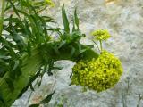 Bunias orientalis (5).JPG