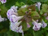 Glechoma hederacea (6).JPG