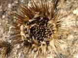 Onopordum acanthium27.jpg