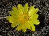 Adonis vernalis (2).JPG