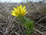 Adonis vernalis (3).JPG