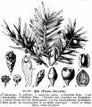 Taxus baccata6.jpg