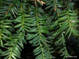 Taxus baccata-7.JPG