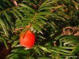 Taxus baccata-tiszafa.JPG
