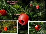 Taxus baccata-tiszafa1.JPG