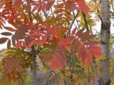 Sorbus domestica (8).JPG