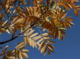 Sorbus domestica (4).JPG