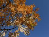 Sorbus domestica (6).JPG