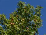 Sorbus domestica (7).JPG