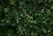 Lepidozia reptans 1.jpg