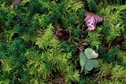 Ptilium crista-castrensis 1.jpg