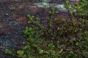 Ptilidium pulcherrimum 1.jpg