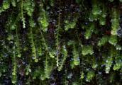 Anastrophyllum minutum 2.jpg
