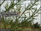 phyllocladium 3.JPG