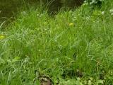 Carex hirta (12).JPG