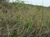 Carex flacca (5).JPG