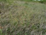 Carex flacca (8).JPG