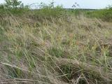 Carex flacca (9).JPG