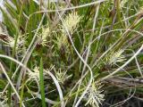 Carex humilis1.JPG